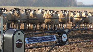 Sheep gate stubble turnips